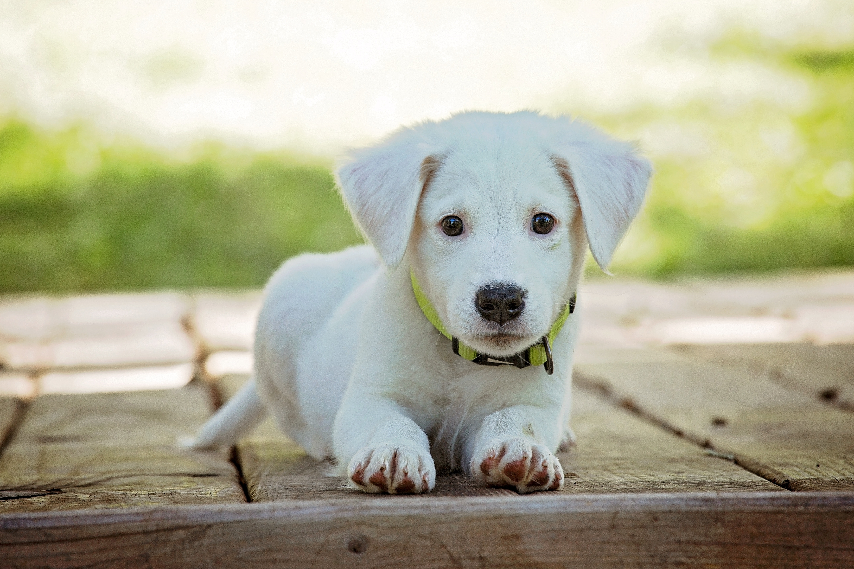 adorable-animal-canine-257540